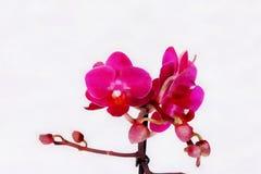Fermez-vous vers le haut des fleurs colorées d'orchidée photographie stock libre de droits