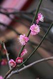 Fermez-vous vers le haut des fleurs d'amande photos stock