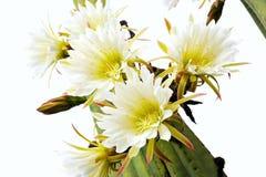 Fermez-vous vers le haut des fleurs de cactus Photos stock