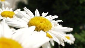 Fermez-vous vers le haut des fleurs de camomille Belle sc?ne de nature avec les chamomilles m?dicaux de floraison Jardin, faisant clips vidéos
