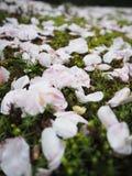 Fermez-vous vers le haut des fleurs de cerisier du Japon sur le plancher d'herbe Photo libre de droits