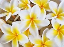 Fermez-vous vers le haut des fleurs de frangipani Photos stock