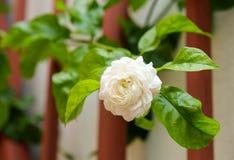 Fermez-vous vers le haut des fleurs de jasmin Photographie stock libre de droits