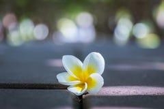 Fermez-vous vers le haut des fleurs de plumeria Photo stock