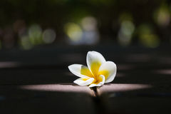 Fermez-vous vers le haut des fleurs de plumeria Photos stock