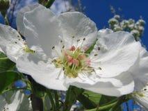 Fermez-vous vers le haut des fleurs de poire contre le ciel bleu sous des sunlights Images stock
