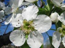 Fermez-vous vers le haut des fleurs de poire contre le ciel bleu sous des sunlights Photos libres de droits