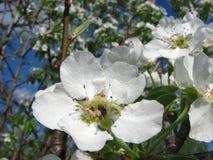Fermez-vous vers le haut des fleurs de poire contre le ciel bleu sous des sunlights Photographie stock libre de droits