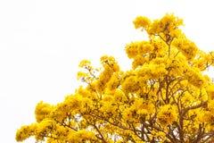 Fermez-vous vers le haut des fleurs jaunes fleurissent au printemps temps sur le fond blanc de ciel Photo stock