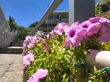 Fermez-vous vers le haut des fleurs pourpres de gloire de matin sur la barrière en ville photos stock
