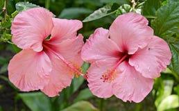 Fermez-vous vers le haut des fleurs tropicales roses Image libre de droits