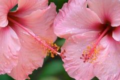 Fermez-vous vers le haut des fleurs tropicales roses photographie stock libre de droits