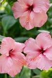 Fermez-vous vers le haut des fleurs tropicales roses photos libres de droits