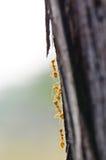 Fermez-vous vers le haut des fourmis rouges en nature Image stock