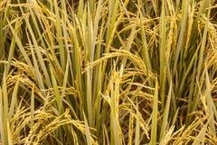 Fermez-vous vers le haut des gisements de riz Photo stock