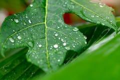 fermez-vous vers le haut des gouttes de pluie sur le congé tropical vert image stock
