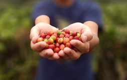 Fermez-vous vers le haut des grains de café rouges de baies sur la main d'agronome photos libres de droits