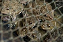 Fermez-vous vers le haut des grenouilles vivantes dans le filet Photographie stock