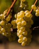 Fermez-vous vers le haut des groupes de raisins dans le soleil d'été Image stock