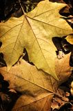 Fermez-vous vers le haut des lames d'automne de jaune Images libres de droits