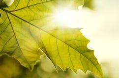 Fermez-vous vers le haut des lames d'automne texture et soleil Images libres de droits