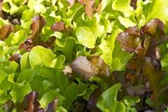 Fermez-vous vers le haut des lames grandissantes de salade de chéri Photo stock