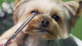 Fermez-vous vers le haut des mains des cheveux de chien de terrier de Yorkshire de coupes de groomer sur le museau avec des cisea banque de vidéos