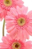 Fermez-vous vers le haut des marguerites roses de gerber Photos stock