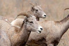 Fermez-vous vers le haut des mouflons d'Amérique. photos stock
