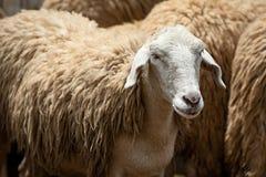Fermez-vous vers le haut des moutons Photos stock