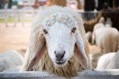 Fermez-vous vers le haut des moutons blancs Photos libres de droits