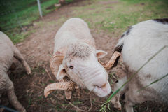 Fermez-vous vers le haut des moutons blancs mangeant l'herbe dans la ferme image stock