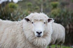 Fermez-vous vers le haut des moutons mérinos dans l'exploitation d'élevage de la Nouvelle Zélande Image libre de droits