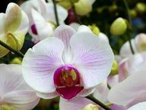 Fermez-vous vers le haut des orchidées blanches Photo libre de droits