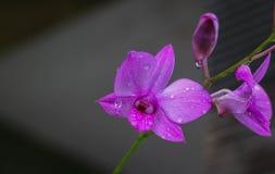 Fermez-vous vers le haut des orchidées pourpres photographie stock