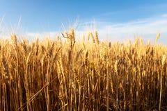 Fermez-vous vers le haut des oreilles mûres de blé Fond des oreilles de maturation du champ d'or image libre de droits