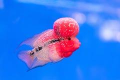 Fermez-vous vers le haut des poissons de Cichlids rouge-rose dans l'aquarium bleu Images stock