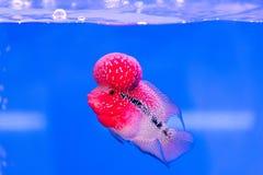 Fermez-vous vers le haut des poissons de Cichlids rouge-rose dans l'aquarium bleu Photos libres de droits
