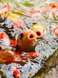 Fermez-vous vers le haut des poissons de koi photo stock