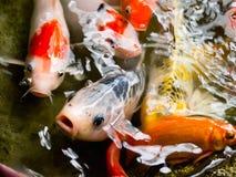 Fermez-vous vers le haut des poissons de koi photos stock