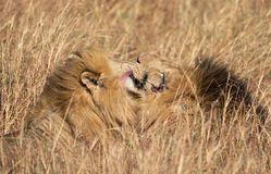 Fermez-vous vers le haut des portraits des têtes de deux Elawana ou de lion masculin de rivière de sable, Panthera Lion, frères t photo stock