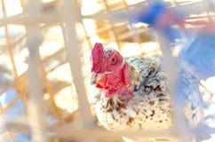 Fermez-vous vers le haut des poulets sur la ferme avicole libre traditionnelle de gamme images libres de droits