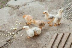 Fermez-vous vers le haut des poussins jaunes sur le plancher, les beaux petits poulets jaunes, groupe de poussins jaunes photos libres de droits