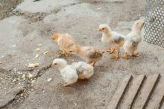 Fermez-vous vers le haut des poussins jaunes sur le plancher, les beaux petits poulets jaunes, groupe de poussins jaunes image stock