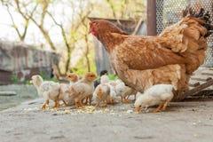 Fermez-vous vers le haut des poussins jaunes sur le plancher, les beaux petits poulets jaunes, groupe de poussins jaunes photos stock
