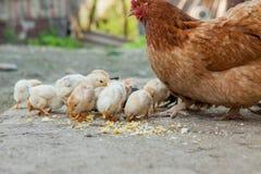 Fermez-vous vers le haut des poussins jaunes sur le plancher, les beaux petits poulets jaunes, groupe de poussins jaunes images stock