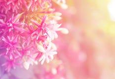 Fermez-vous vers le haut des quisqualis rouges et roses indica Images stock