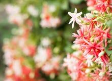 Fermez-vous vers le haut des quisqualis rouges et roses indica, Photo stock
