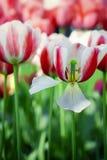Les tulipes de couleur de détail avec la beauté brouillent le fond Image libre de droits