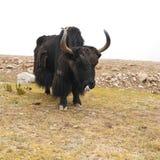 Fermez-vous vers le haut des yaks sauvages en montagnes de l'Himalaya Images libres de droits